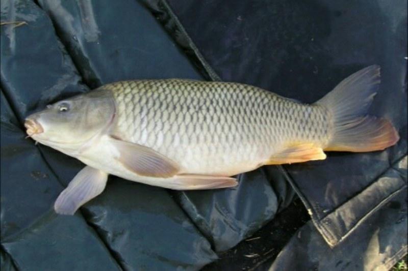 Il carpfishing: scopriamo insieme la pesca alla carpa